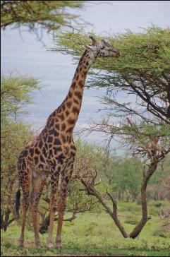 Acacia:Giraffe